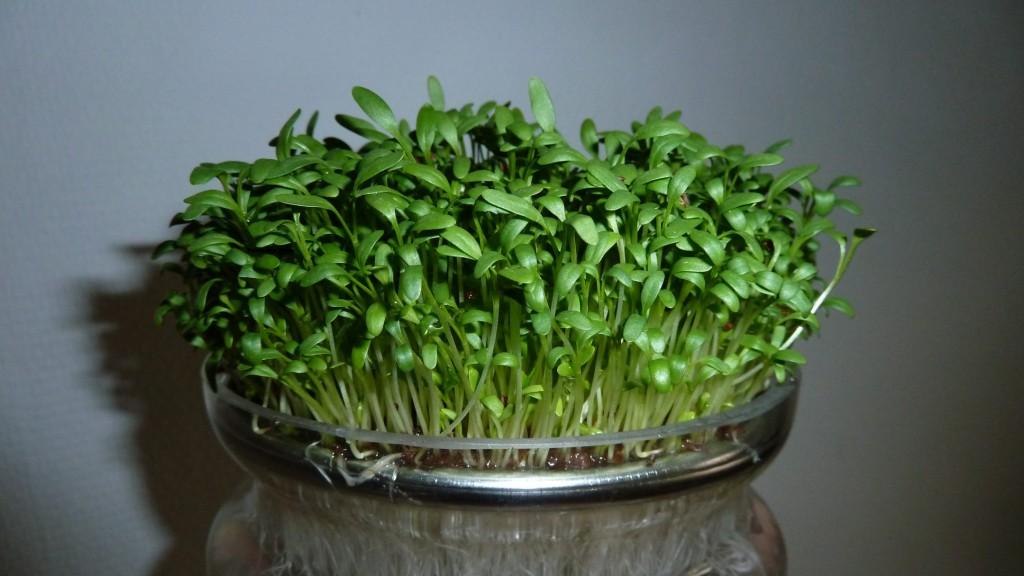 Breedbladige tuinkers in een kiemschaaltje