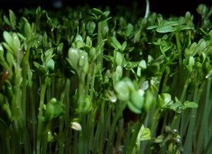 Tuinkers ingezoomd Lepidium sativum