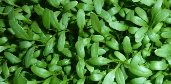 Breedbladige tuinkers, bovenaanzicht