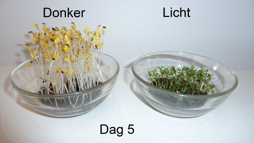tuinkers licht donker gardencress light dark dag 5