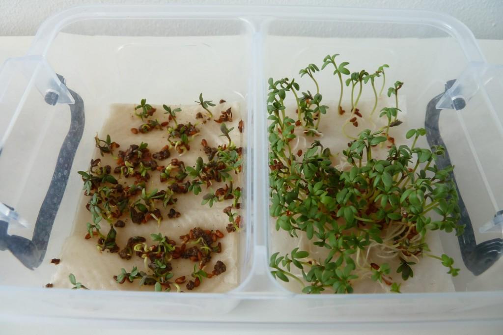 Idee proefjes doen : Tuinkers kweken op watten, met en zonder mest