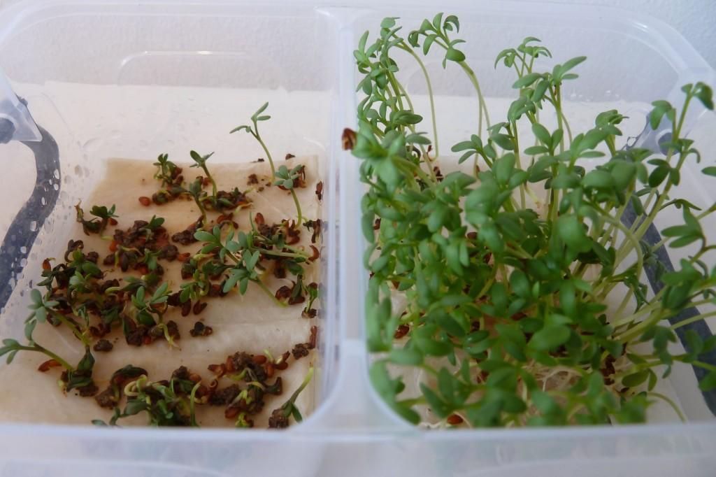 Idee proefjes doen Tuinkers kweken op watten, met en zonder mest